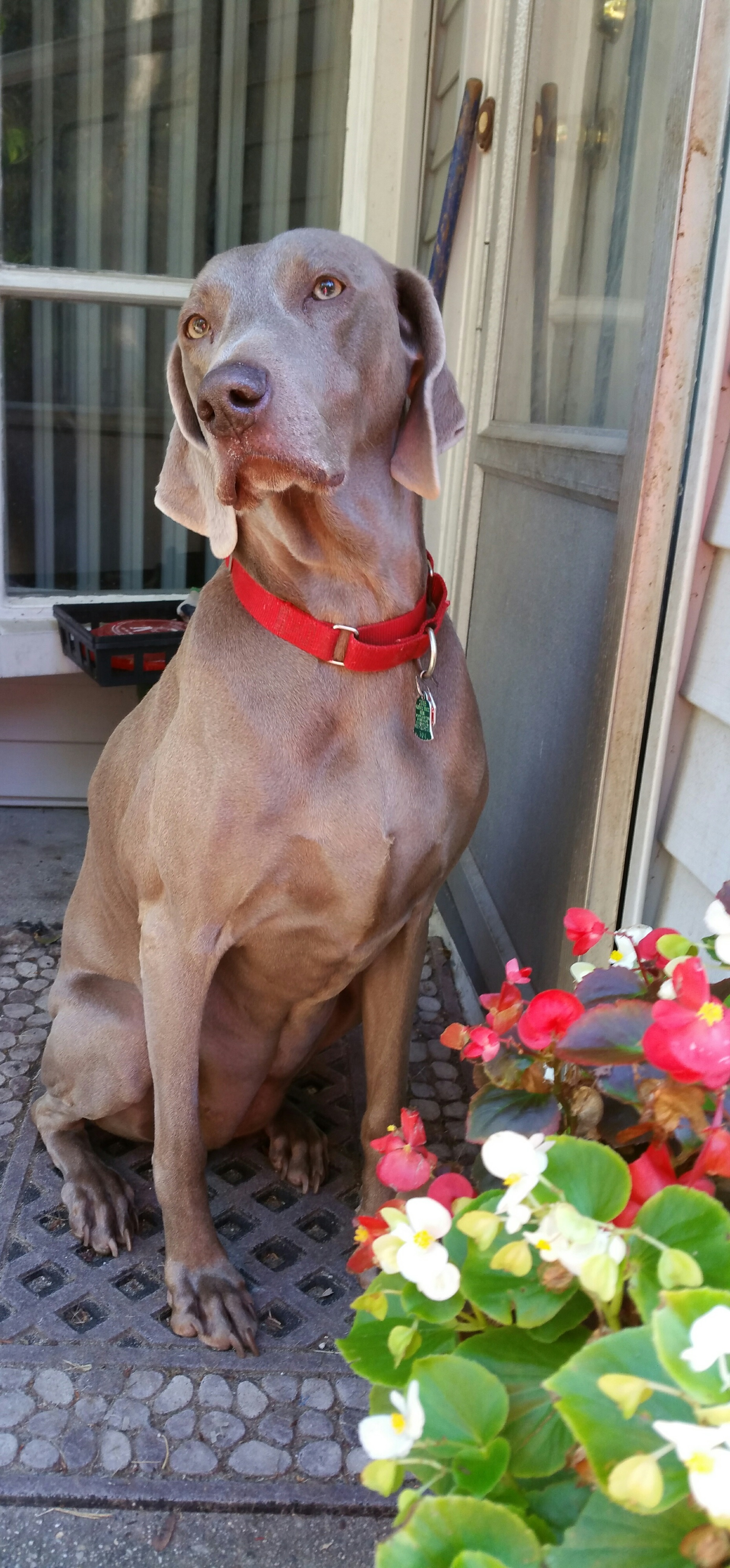 Gracie the Weimaraner