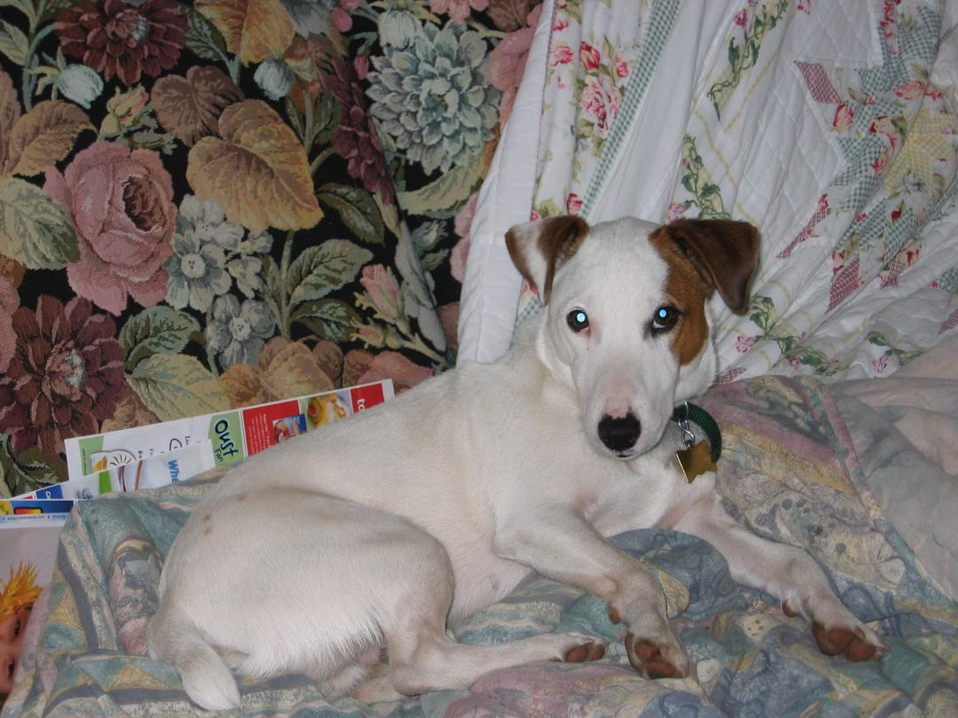 Jaq the Jack Russell Terrier